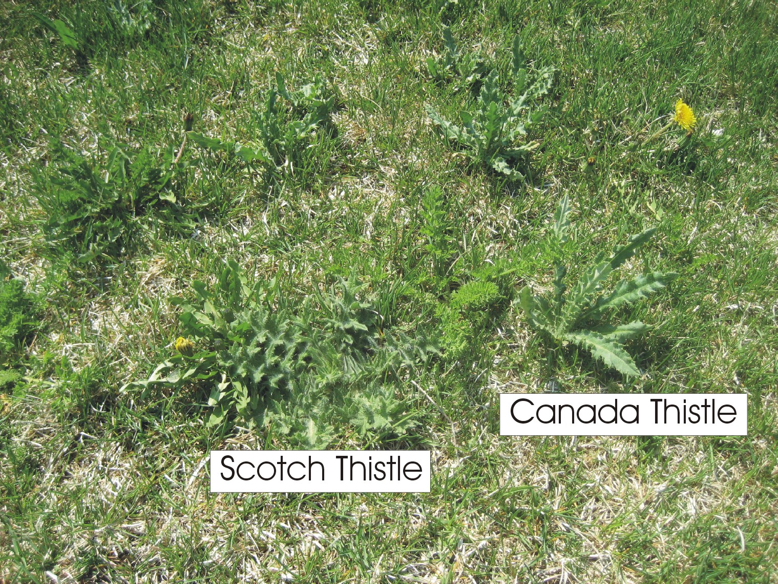 Thistles- A Lawn Care Problem