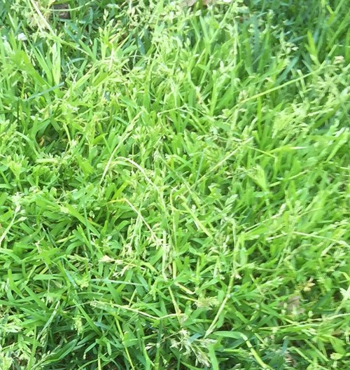 How can you prevent the growth of this weed?  Chemicals controls are  unlawful in some areas such as Ontario.