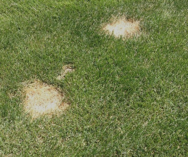 Dog Spots Spoil Good Lawn Care Programs