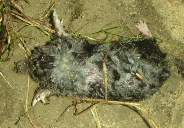 Moles can Damage Lawns